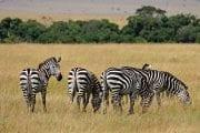 GlobeTracker Ekspedicija Afrika - Safari Zebra