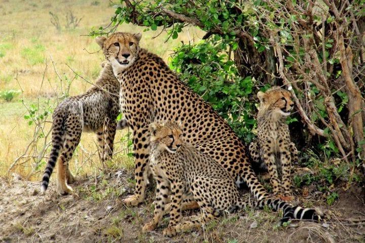 GlobeTracker Ekspedicija Afrika - Safari Leopard